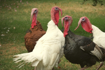 2019 Vermont Fresh Network Local Turkey Finder