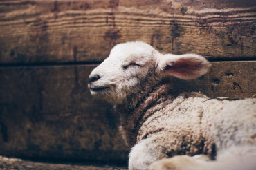 Live from the Lamb Barn | Cloverworks Farm