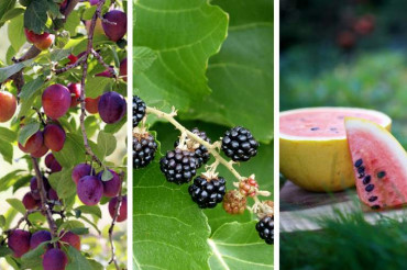 The magic of late summer fruit